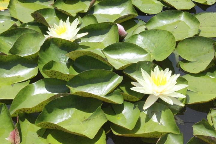 pond lotus 2